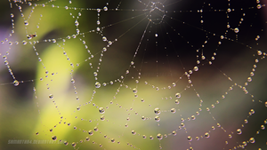 Morning dew on spider web by samantha4