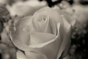 white rose 5 by inyourlove
