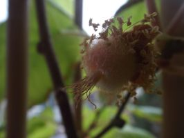 Growing Kiwi by Moka898