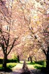 blossom lane by theoden06