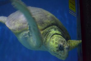 A Sea Turtle by Jaws1996