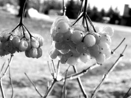 Sour Cherry -- by JohnstonColleen