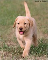Yellow lab puppy by mplonsky