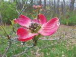 Red Dogwood by jim88bro