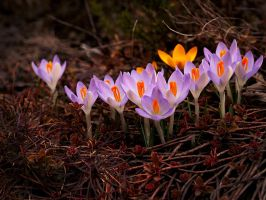 Purple Crocusses by Bodghia