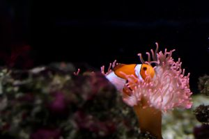 Clown Fish by ZeeGraphix