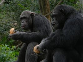 Chimps and Coconuts by LuthienNenharma