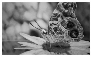 The Painted Lady on the Daisy by girl-with-a-pencil