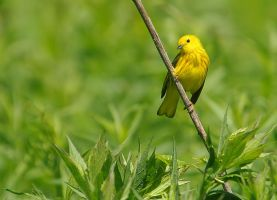 Yellow Warbler by barcon53