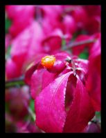 Burning Bush Berry by St0DaD