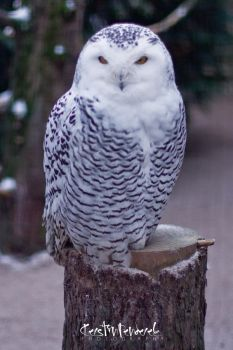 snowy owl by backatone