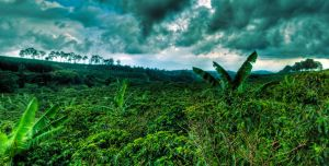 Coffee Plantation Panorama by otas32
