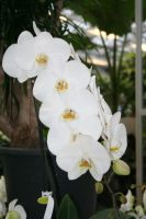 white orchids by ingeline-art
