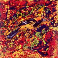 'spotted oriole' by micahsherrill