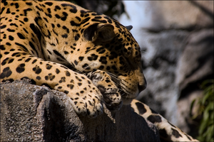 Panthera Onca by hoboinaschoolbus