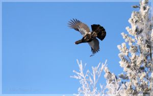 Capercaillie 07 by Starfall00