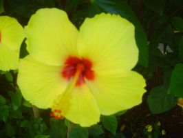 Yellow Hibiscus by AnneMarie1986