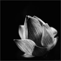 Lotus IV bw by Menoevil