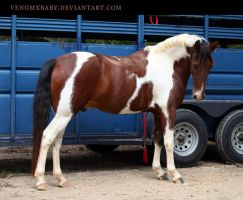 bay tobiano paint 2 by venomxbaby