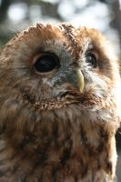 Ollie the Tawny Owl 2.0 by RaeyenIrael-Stock