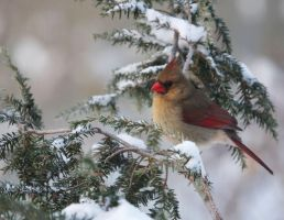 Cardinal Female in Snow by barcon53