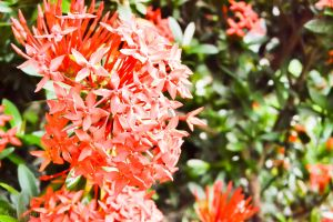 random santan flowers by SoulTribute13