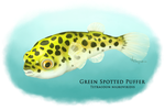 Green Spotted Puffer by Alithographica