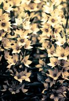 split tone flowers by Mckronic