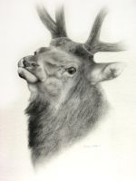 Elk - Head Study by Misted-Dream