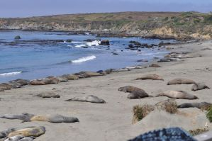 Elephant Seals on Beach by Firepoppy