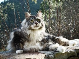 ..My Maine coon.... by Flore-stock