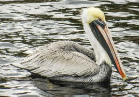 Brown Pelican 5 by BlueMoon30
