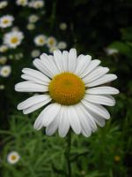 Daisies by gsdark-stock