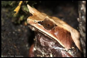 Malaysian Horned Leaf Frog 1 by Vamppy
