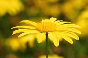 Yellow flower 7 by a6-k