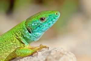 GREEN LIZARD by ELKAPL