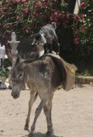 Goat on Donkey in Egypt by AndySerrano