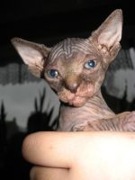 little sphynx by muisie