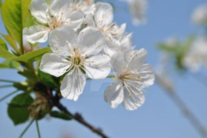 Cherry Blossom by MaePhotography2010