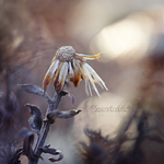 The beauty of withered Life. by dragonfly-oli