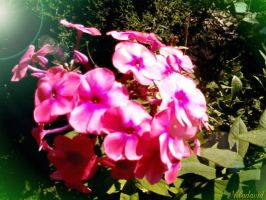 Illuminated by the sun. Phlox. by Mladavid