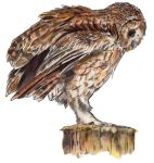 SALE Limited Edition Tawny Owl Giclee Prints by stardust12345