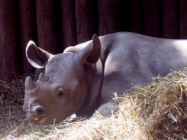 Baby Rhino by harrie5