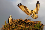 Ospreys at Sundown by KiaayoTotem