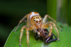 Cannibal Jumping Spider by Anrico