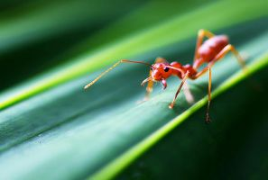 Red Ants 02 by josgoh