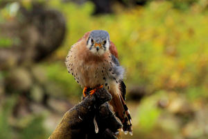American kestrel by Quiet-bliss