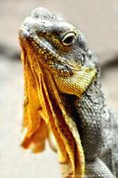 Frilled Neck Lizard by Creative-Addict