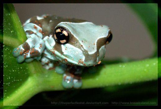 Milk Frog Perch by theperfectlestat