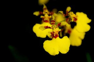 Yellow Orchid- Dancing Ladies by jasaholic